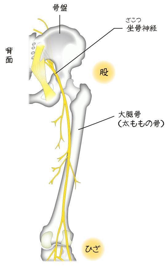 「股関節 坐骨神経」の画像検索結果